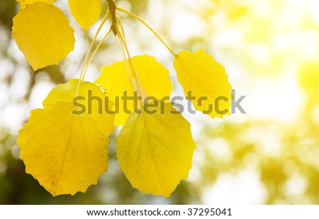 autumn yellow leaves of aspen - stock photo