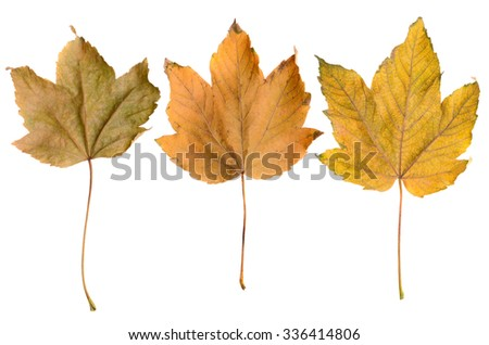 Autumn yellow leaves on isolate - stock photo