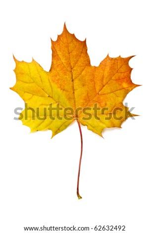 Autumn yellow maple leaf isolated on white background - stock photo