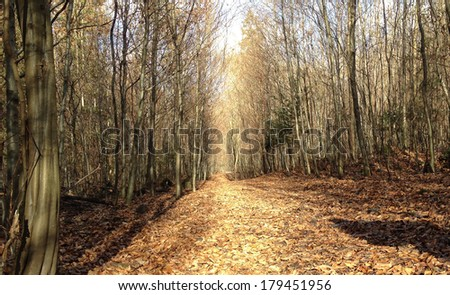 Autumn young beech forest pathway