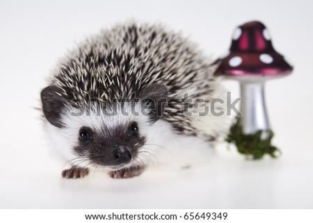 Autumnal animal, Hedgehog - stock photo