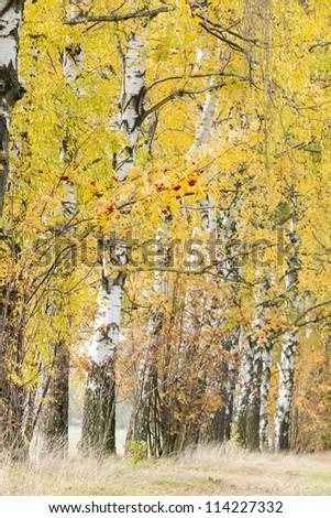 autumnal birch alley - stock photo