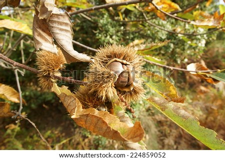 autumnal chestnuts on the branch