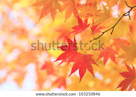 Autumnal colored leaves, maple in oirase - stock photo