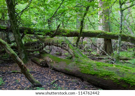 Autumnal deciduous stand with dead trees partly declined - stock photo