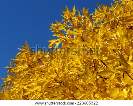 autumnal golden foliage of ash-tree - stock photo