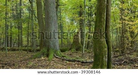 Autumnal landscape of Bialowieza Forest with hornbeam trunk in foreground and large spruce among deciduous trees - stock photo