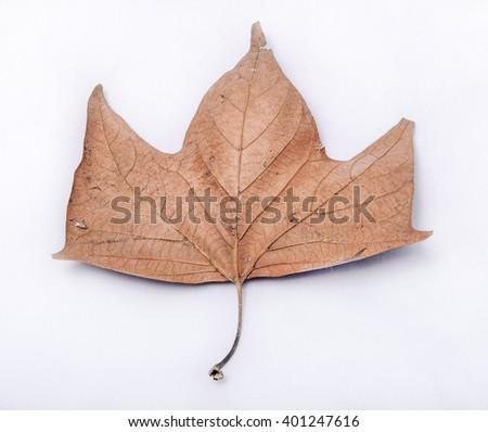 Autumnal leaf on white - close-up - stock photo