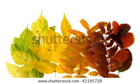 autumnal leafs, gradient from green to red - stock photo