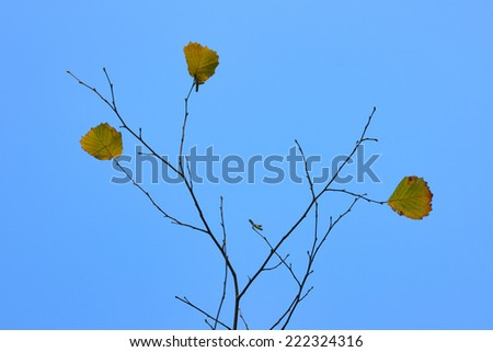 Autumnal leaves. Last autumn leaves on thin branches against blue sky. - stock photo