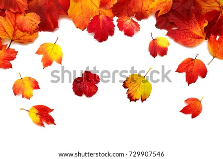 Autumnal leaves of the viburnum yellow and red isolated on white background. Guelder rose. Flat lay, top view