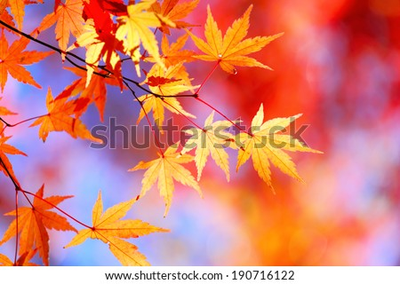 Autumnal maple leaves - stock photo