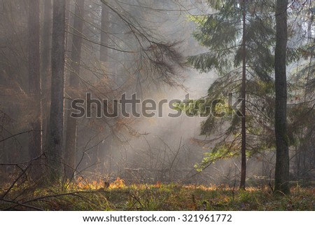 Autumnal morning in the forest with mist among pines and spruce trees, Bialowieza Forest, Poland, Europe - stock photo