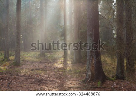 Autumnal morning in the forest with mist among pines and spruce trees, Bialowieza Forest, Poland, Europe