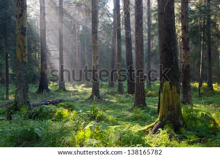 Autumnal morning with sunbeams entering forest among dead spruce trees still standing and grassy bottom - stock photo