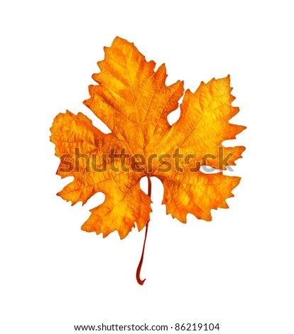 Autumnal orange dry old leaf isolated on white background with copy space - stock photo