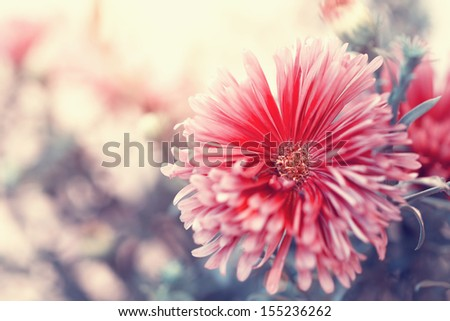 autumnal red aster close up