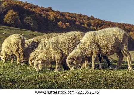 Autumnal scene with grazing sheep flock. - stock photo