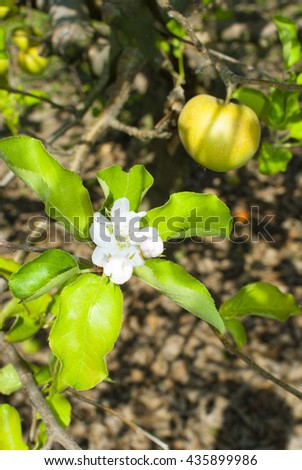 autumnal special second blossoming apple tree with ripe fruits - stock photo