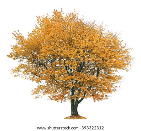 Autumnal tree, isolated on white