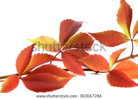 Autumnal twig of grapes leaves (Parthenocissus quinquefolia foliage). Isolated on white background. Close-up view.  - stock photo