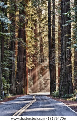 Avenue of the Giants: Sun rays fall on iconic, ancient giant redwoods along a famous scenic drive on Highway 101 in Humboldt County, California, U.S.A.