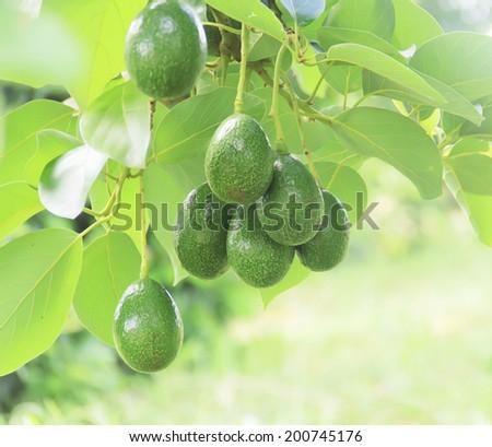 Avocado in the tree - stock photo