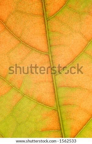 avocado leaf - stock photo