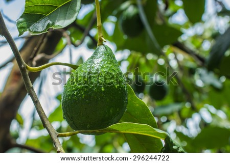 Avocado or nut butter fruit with meat it is butter. Is a native tree of Puebla in Mexico. - stock photo