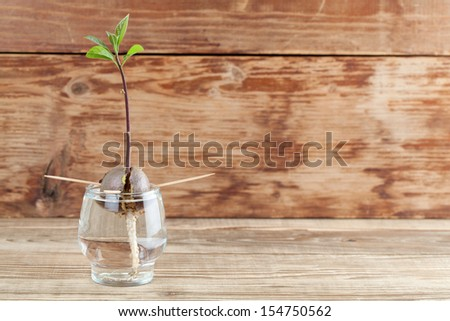 Avocado seed with root and sprout with leaves in glass with water fourth growth stage of avocado plant - stock photo