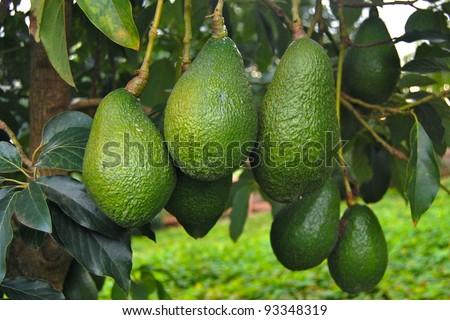 Avocados Growing on Tree - stock photo