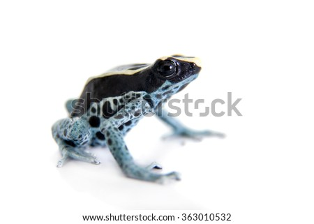 Awarape Blue Dyeing Poison Dart Frog, Dendrobates tinctorius, on white background. - stock photo