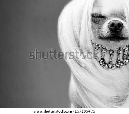awesome chihuahua dog black and white close up picture - stock photo