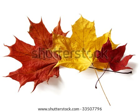 awesome colors of dry maple leaves in Autumn - stock photo