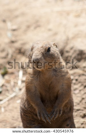 Awesome prairie dog outdoor shot. Prairie dog is typical Africa species, prairie dog could be found also in Zoo. Animal shot capturing prairie dog. Very cute prairie dog.