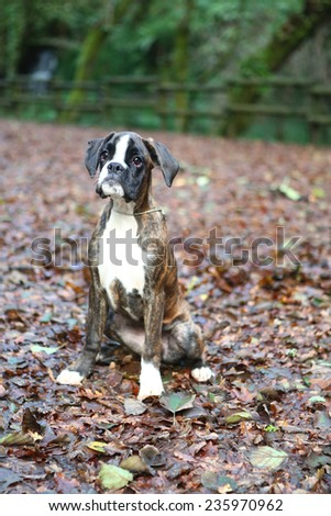 Awesome young boxer on a park in autumn - stock photo