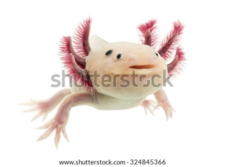 Axolotl (Ambystoma mexicanum) in front of a white background - stock photo
