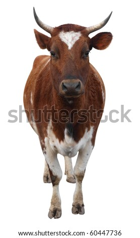 Ayrshire Cow with Horns isolated with clipping path - stock photo
