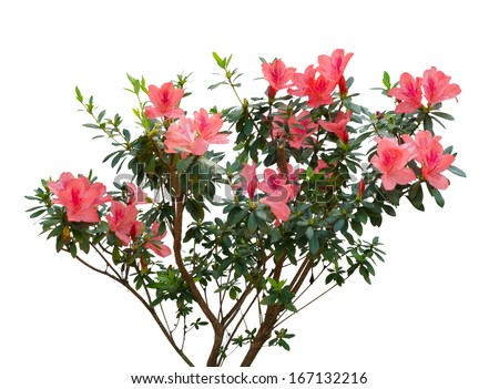 azalea blooming on tree isolated on white background - stock photo