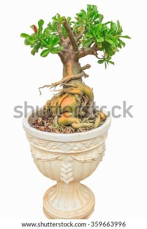 Azalea bonsai tree. - stock photo