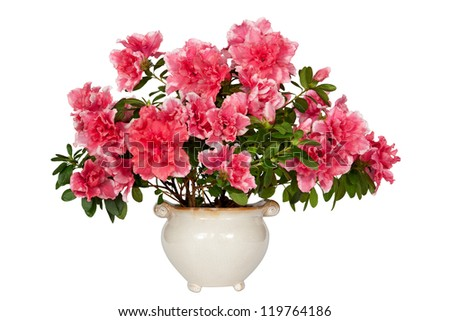 Azalea flower in the pot. Clipping path included.