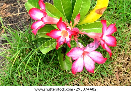 Azalea flowers. - stock photo