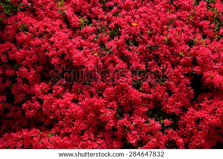 azalea of Chofu. - stock photo