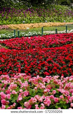 Azalea - Rhododendron garden - stock photo