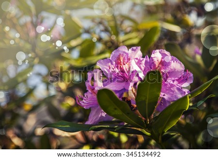 azalia bush with beautiful pink flowers, with green leaves and blue sky shining through - stock photo
