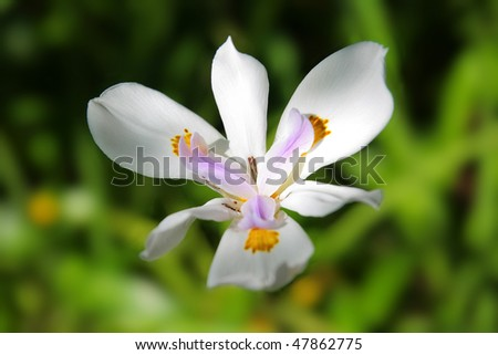 Azorean white orchid ona green blurred background - stock photo