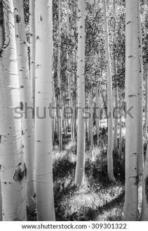 B&W of Aspen Tree Grove - stock photo