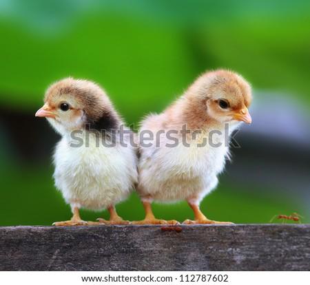 babies chicks - stock photo