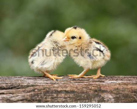 babies chicks on nature background - stock photo