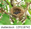 Babies Streak-eared Bulbul Birds on nest - stock photo